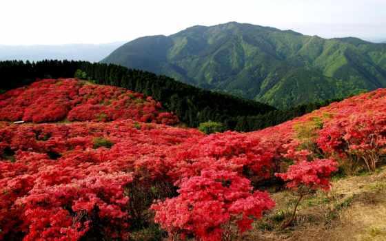 красные, цветы, горы, природа, поле, кусты, landscape, лес, цветут, кустарники, пионы,