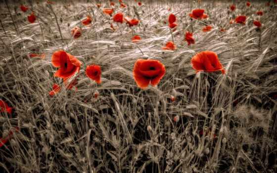 обои, маки, красные, поле, цветы, природа, cкачать