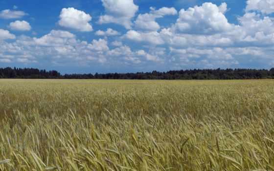 поле, урожай,