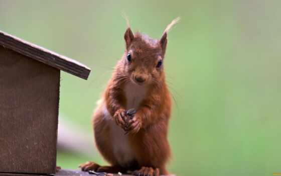 red, squirrel, cute
