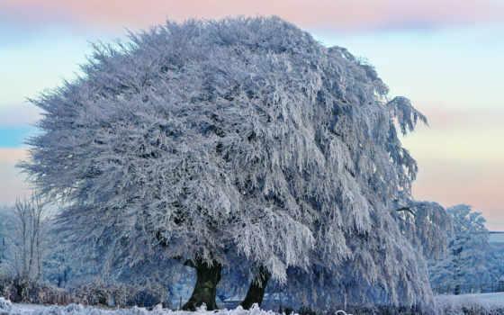 дерево, большое, инеем