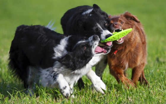 собаки, border, колли