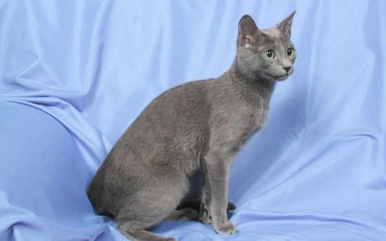 голубая, русская, кошек, кот, кошки, самых, пород, цена, породы, дорогих,