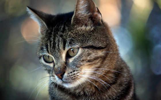 кошки, кот, коты, красивые, бесплатные, goodoboi, смотрит, обоях, день, июл,