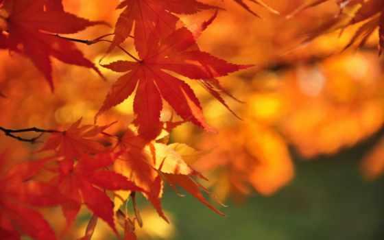 momiji, maple, irohamomiji, осень, листья, самый, desktop, photos,