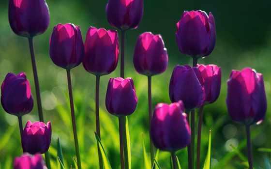тюльпаны, красные