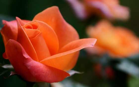 роза, cvety, розы, оранжевые, макро, оранжевая, тюльпан, лайков,