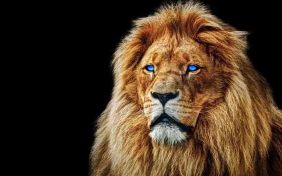 lion, left, морда, animal, глаз, blue, фон, stokovyi, чёрн, detailed