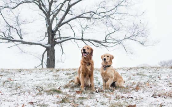 retriever, золотистый, собаки Фон № 99627 разрешение 1920x1200