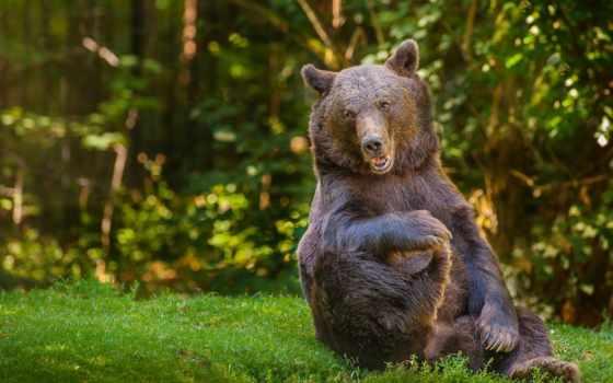 медведь, медведи, леса