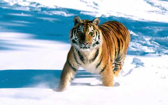 тигр, снегу, running