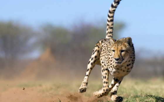 zhivotnye, природа, гепард, дикая, часть, природы,