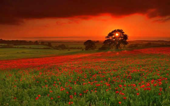 поле, закат, вечер, природа, маки, цветы, маковое, sun,