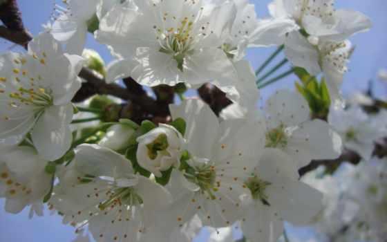 taustapildid, вишни, весна, tasuta, вишенка,