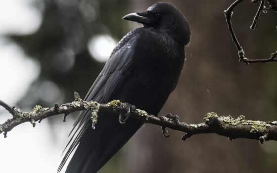 птица, ворона, природа, ворон, animal, уж, corbeau, black, best