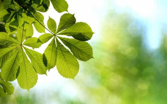 листья, каштановый, branch