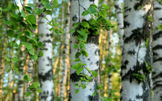березы, листья, деревя