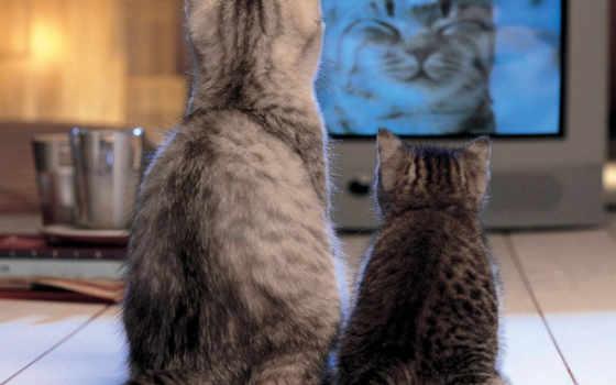 смотрят, тв, кошки
