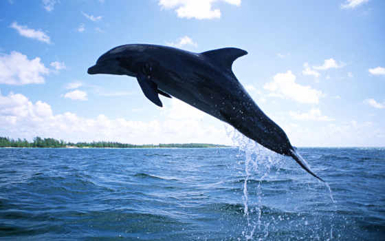 дельфин, плавающий, free
