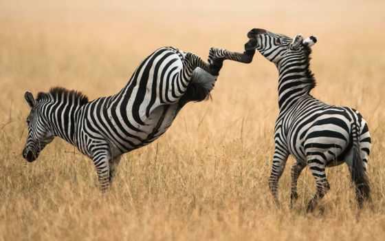 зебры, zebra, красивые