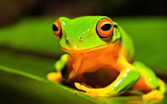 лягушка, лягушки, зелёная, животные,