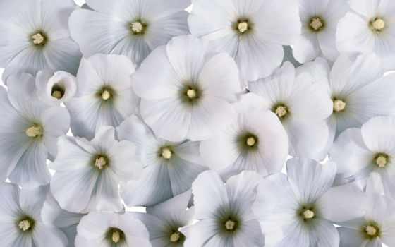 цветы, белые, лаватера