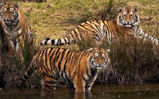 tigers, коллекция