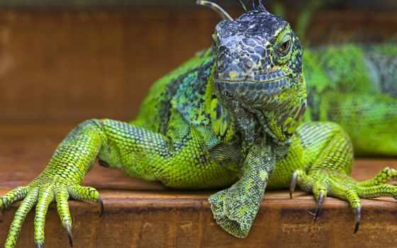 iguana, описана, научно, была, обыкновенная, шведским, врачом, году, карлом, натуралистом, линнеем,
