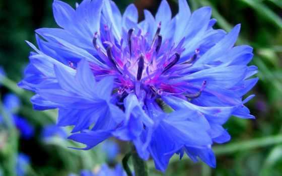 centaurea, cyanus, выдержка, растения, василек, blue, васильки, cvety,