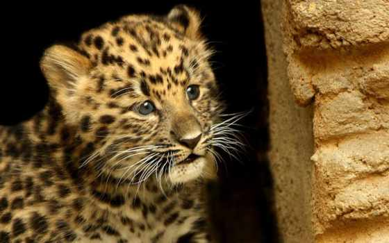 маленький леопард, взгляд леопарда