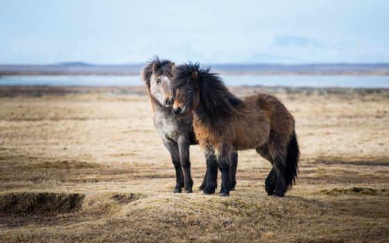 лошади, лошадь, zhivotnye, icelandic, природа, катание, красивые, iceland, трава, горы,