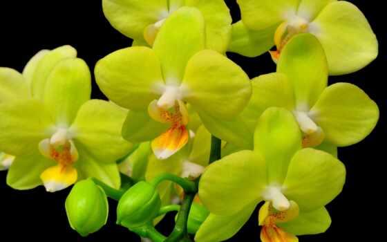 орхидея, цветы, ветка