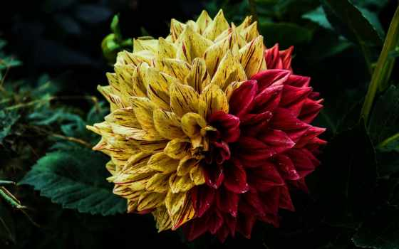 dahlia, цветы, free, pixabay, images, garden, flowers,