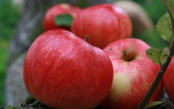 штрифель, сорта, полосатое, осеннее, сорт, штрейфлинг, яблоня, garden, яблоки, картинка, яблонь,