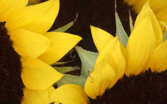 подсолнухи, sunflowers
