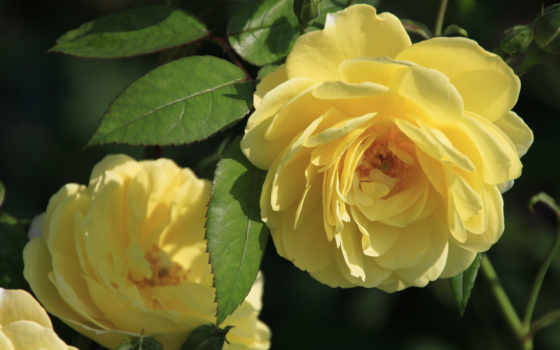 цветы, розы, крупным