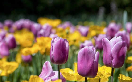 тюльпаны, cvety, полевые
