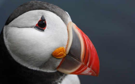 тупик, атлантический, птица Фон № 122606 разрешение 1920x1200