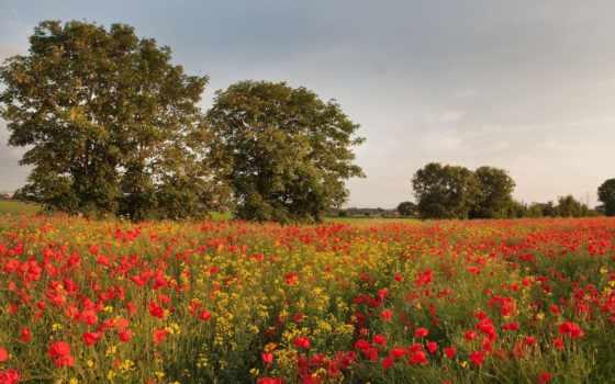 цветы, полевые, маки, поле, красные, желтые, cvety, trees,
