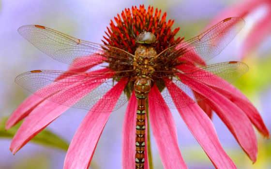 стрекоза, desktop, images, dragonflies, фон, animal, free,