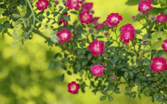 garden, роза, картинка, цветы, много, goodfon, ornamental