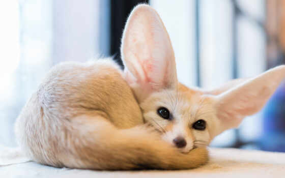 animal, серьги, биг, fennec, фокс, sweetheart, cute, кот, little, among