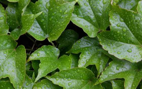 ivy, листья, wet