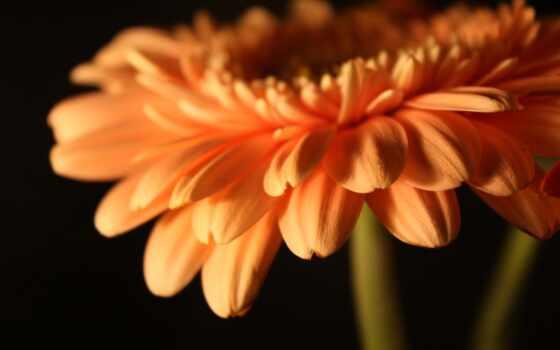 gerbera, цветы, герберы Фон № 56426 разрешение 2560x1600