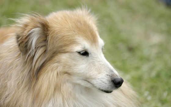 krasota, собака, портрет
