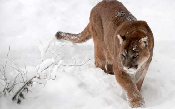 кошки, большие, животные, пумы, cougar, кугуар, взгляд, морда, animals, снег,