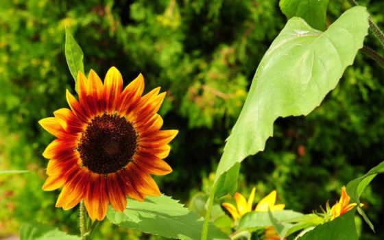 цветы, дек, подсолнух