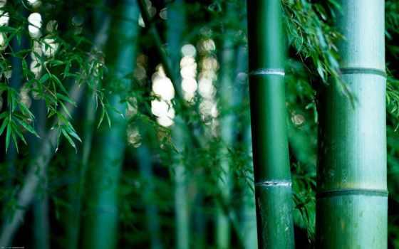бамбук, растения, grove, бамбуковая, природа,