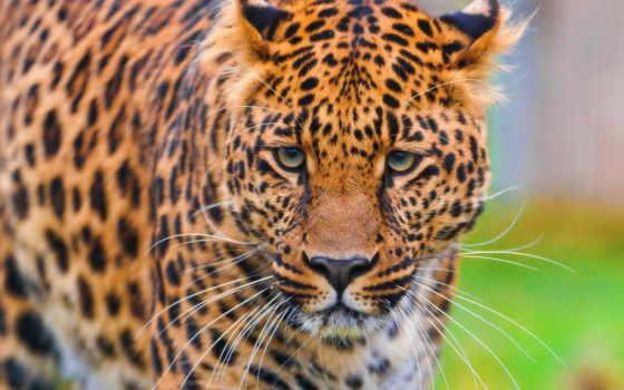 леопард, морда, zhivotnye
