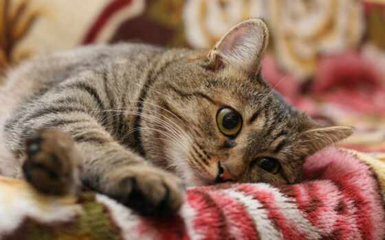 кот, striped, порода, bakenbarda, котенок